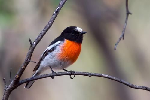 Scarlet Robin 2012-11-25 (_MG_7402)