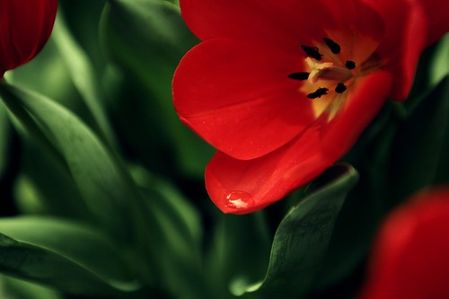 Цветок, мак, красный, фон by setyelina