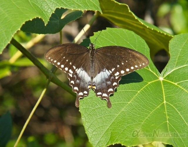 butterfly 0009 Harriman park, NY, USA