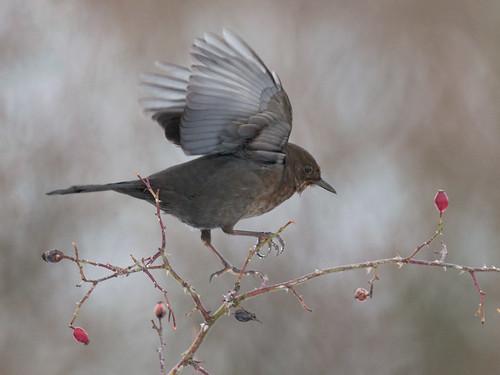 Blackbird-winter feeding