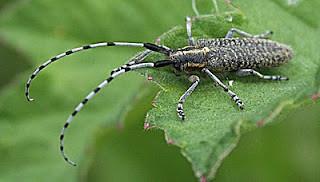 Agapanthia villosviridescens Golden-bloomed Grey Longhorn Beetle