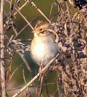 Clay-colored Sparrow, Florham Park, NJ, Sept. 23, 2012, Photo by Jamie Glydon