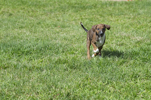 Azawakh Puppy Double-Suspension Gallop