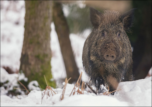 Wild Boar In Snow by Ben Locke (Ben909)