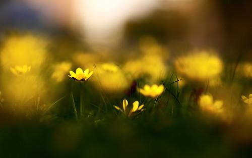 Чистотел, цветы, трава, природа, весна, размытость by setyelina