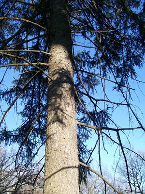 pine_photo_morton_arb