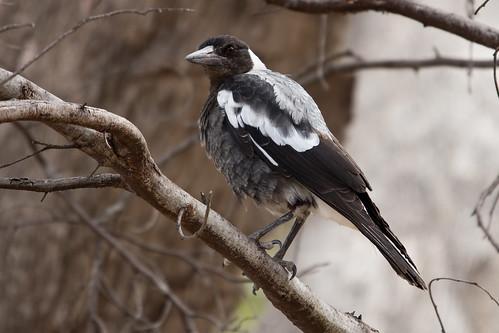 Australian Magpie 2013-01-26 (_MG_0081)