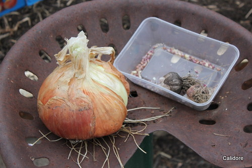 Giant Onion and Garlic Bulbils