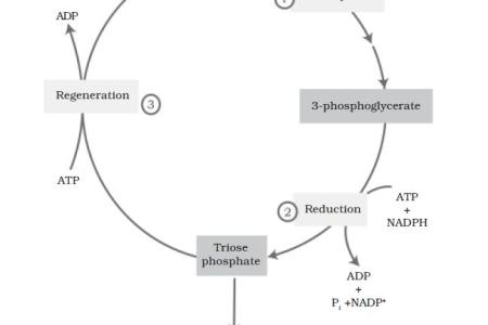 Detailed Diagram Of Calvin Cycle Full Hd Pictures 4k Ultra