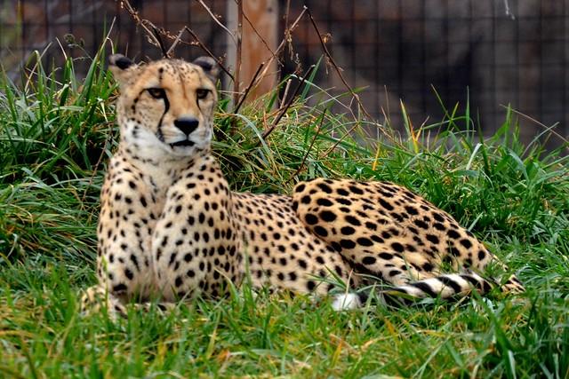 Lounging Cheetah