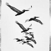 7 Pelicans.