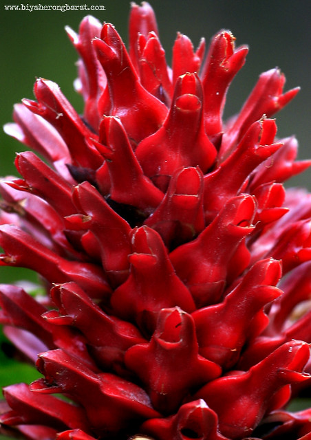 Red Ginger in Singapore Botanic Garden