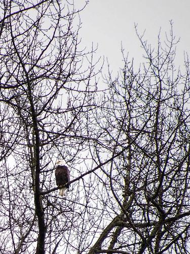 Distant Eagle