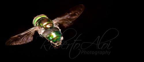 Green Hoverfly by Roberto_Aloi