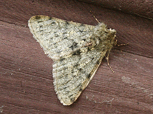 Pale Brindled Beauty Apocheima pilosaria Tophill Low NR, East Yorkshire February 2013