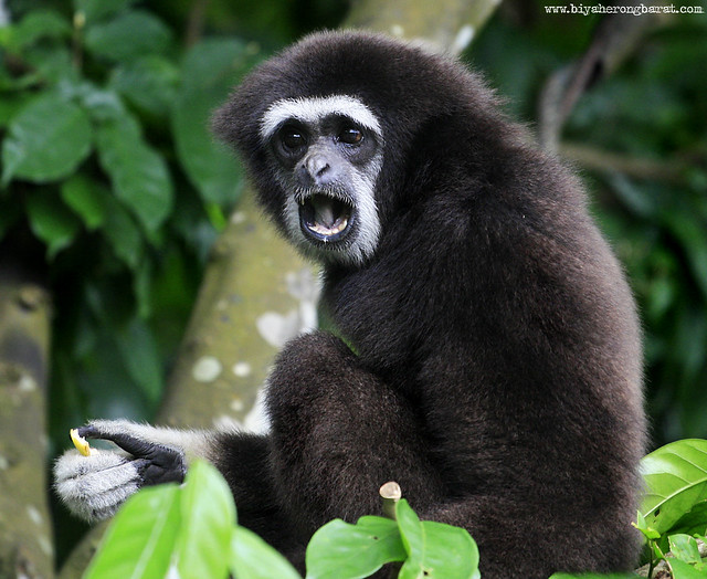 White-handed gibbon in SIngapore Zoo