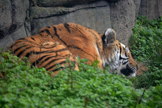 Sleepy Amur Tiger