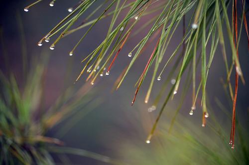 Raindrops on Pine needles by Jeka World Photography