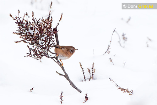 Dartford Warbler Snow Drift
