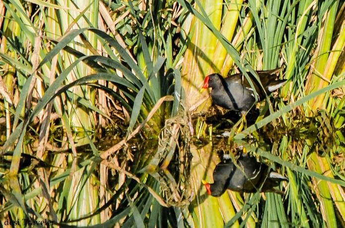 Water hen or Amaurornis phoenicurus hiding in grass