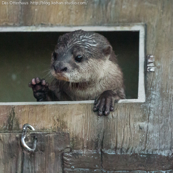 otter looking wistfully out of a little window in a wooden structure. Her right paw is raised as if in greeting.