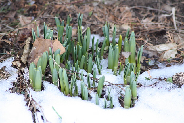 daffodil shoots in snow