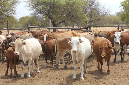Mahalapye cattle in Botswana