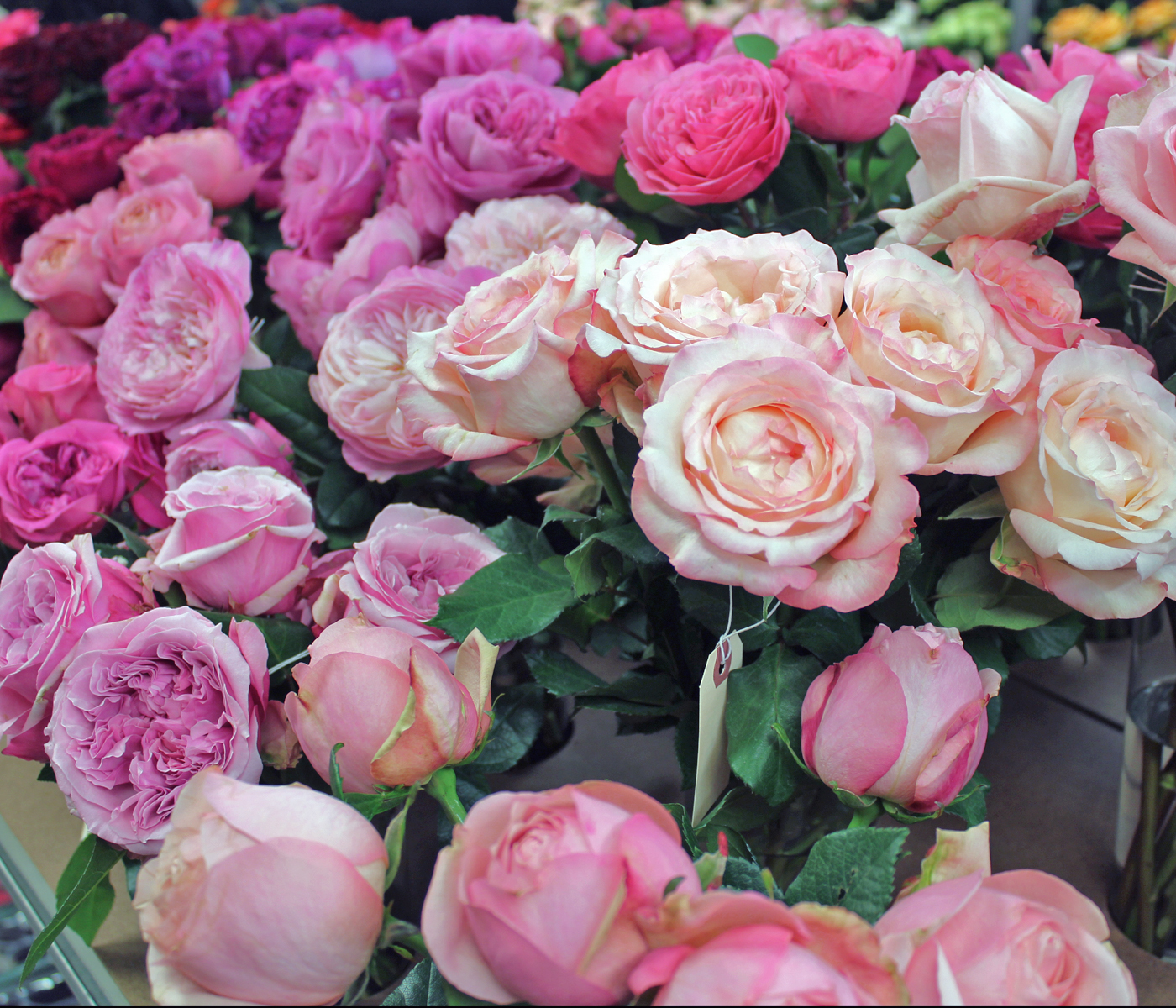 harvest-rose-6