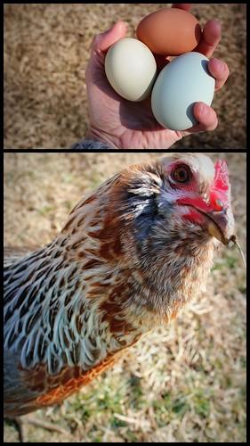 20130209. Beaker and her giant egg.