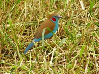 """cordon-bleu"" de mejilla roja (Uraeginthus bengalus)"