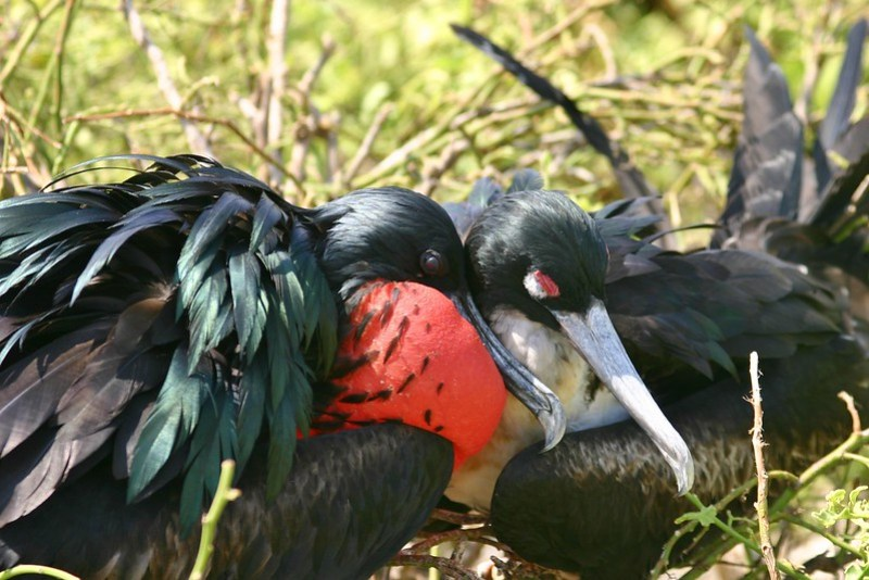 Greater frigatebird (male)