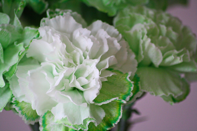green carnations 2