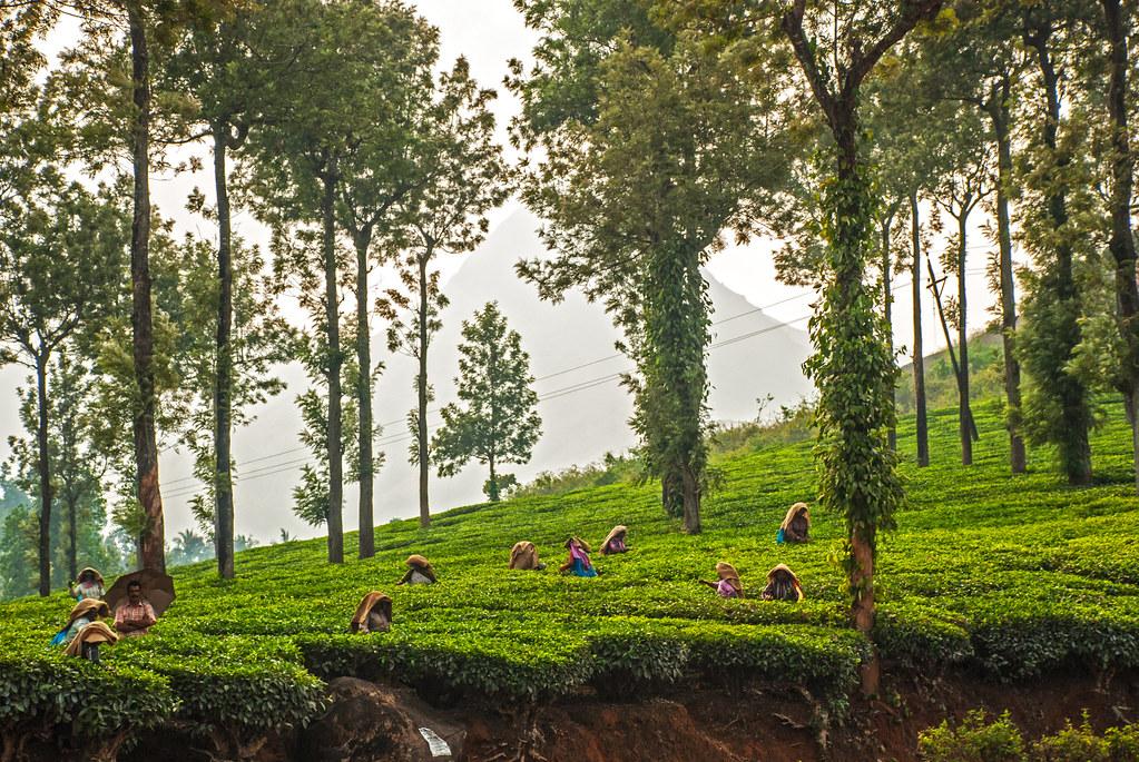 Tea garden in Wayanand