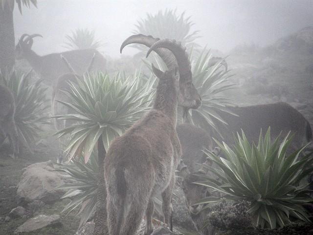 Íbex etíope (Capra walie)