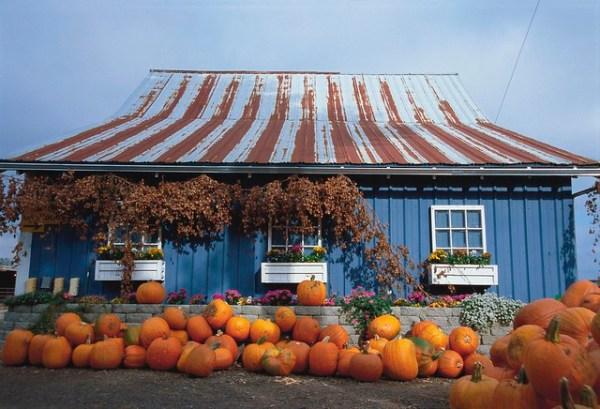 Hoffman's Dairy Garden - steel barn with pumpkins 2 - 148