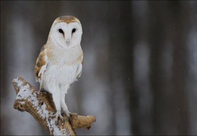 Barn Owl 19