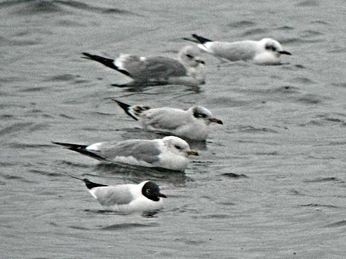 Mediterranean Gull Larus melanocephalus Tophill Low NR, East Yorkshire March 2013