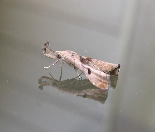 Dark-spotted Palthis by ammodramus88