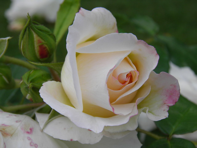 Rosa 'Kosmos'