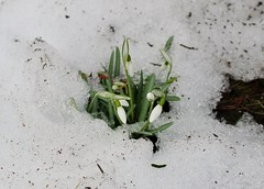 Snowdrops in snow - March 27 / Day 86