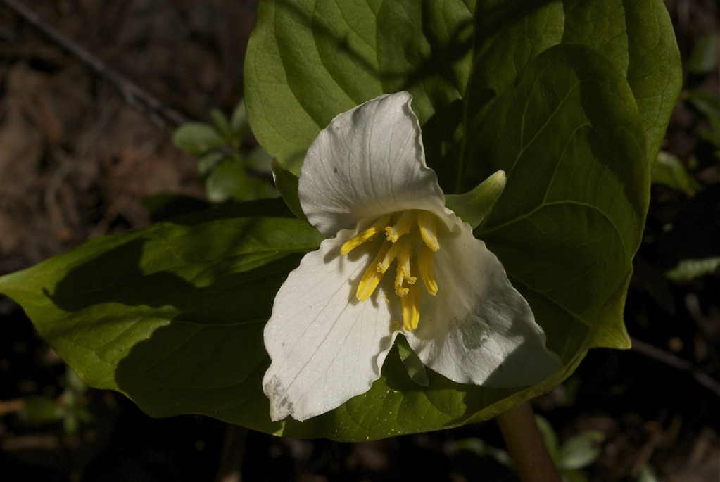 Western White trillium, Pacific Trillium, Wake Robin, Birthroot