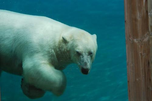 Eisbär Taiko (Siku) im Zoo de La Flèche