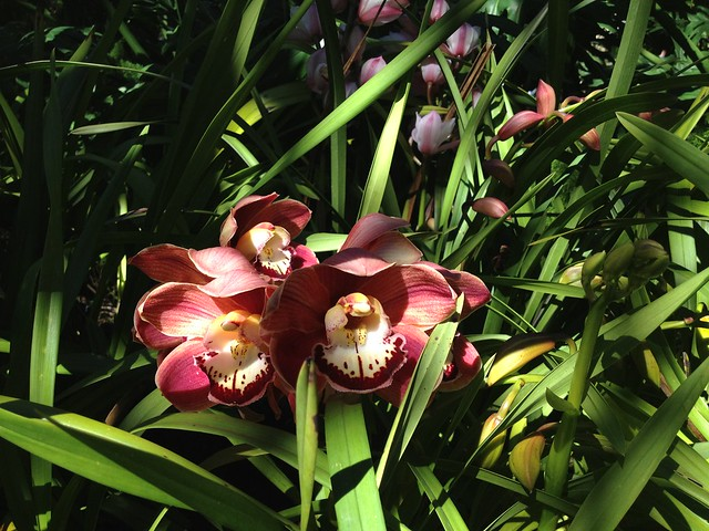 Red Cymbidium orchid flowers