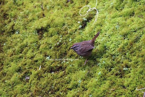 Mossy Bird