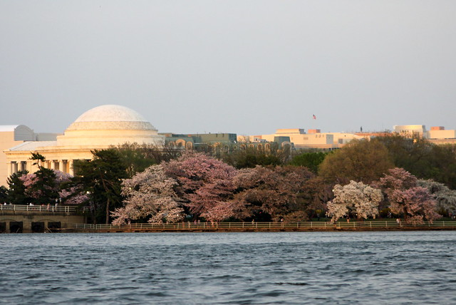Cherry Blossoms from a Boat