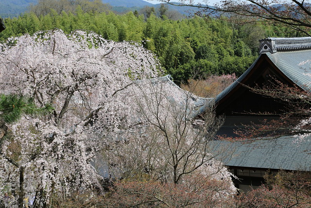 Kyoto Cherry Blossom Show 京都 桜案内