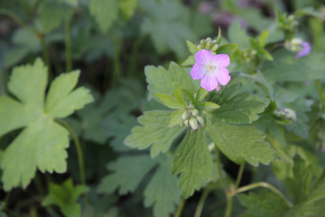 wild geranium Geranium maculatum