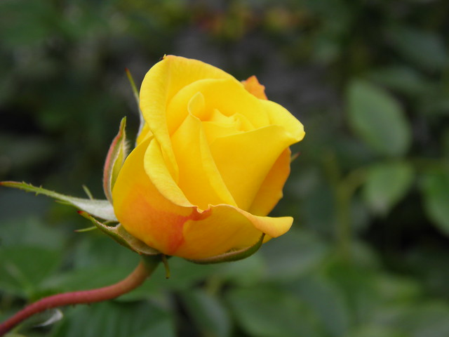 Rosa 'Gold Marie'
