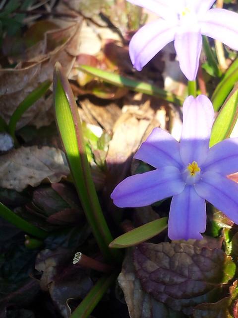 chionodoxa spring 13