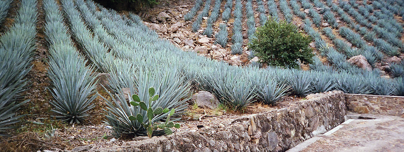 a field of agave azul